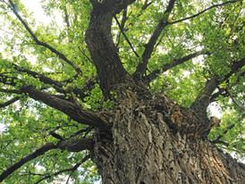 Szent Péter fája