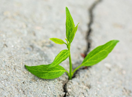 Krishna Prema's Food for Thought 2020 # 12 - Growing Through Adversity