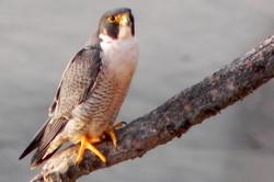 Caulfield_Peregrine Falcon (1)
