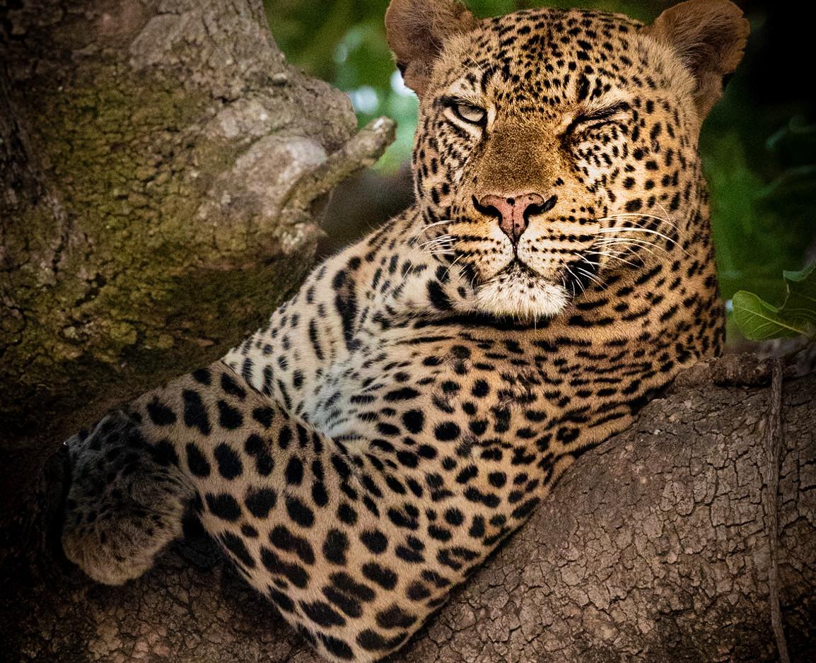 Nominee in Wildlife category - Winking Leopard