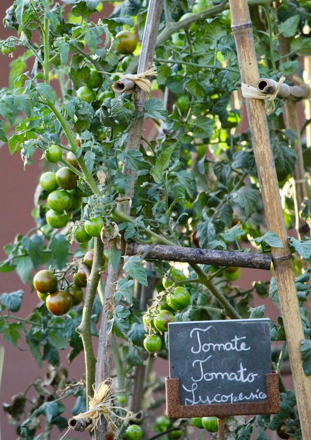 Tomato vines in the organic vegetable garden, Six Senses Douro Valley, Portugal