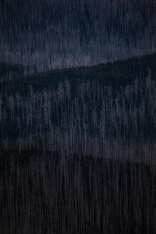 Mountain Ash 10
