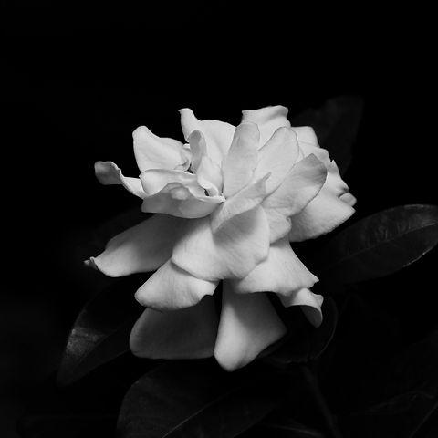 Gardenia Passion_web.jpg