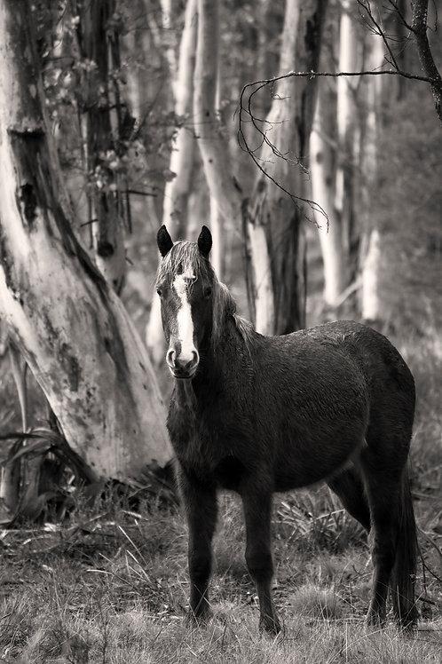 Australian Brumby