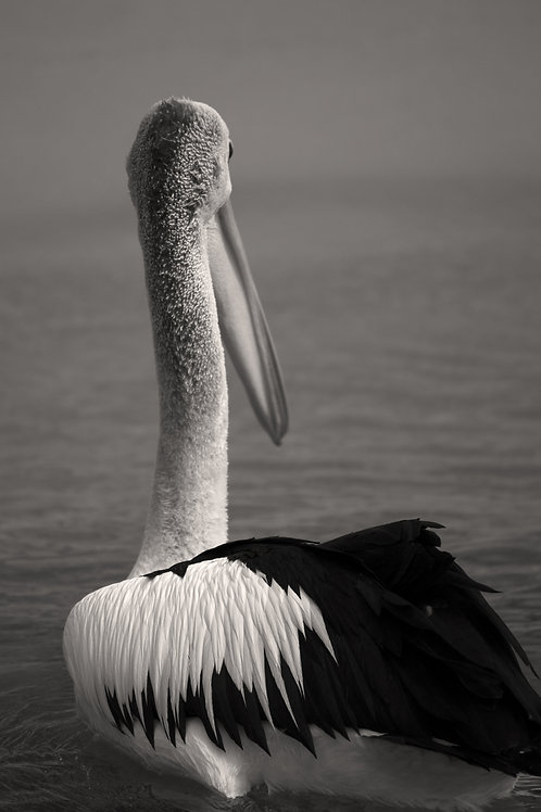 Animal Artwork Black and White Bird Print Pelican Fine Art Photography