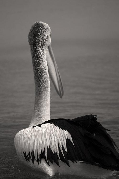 Animal Artwork Black and White Bird Print Pelican Fine Art Photography