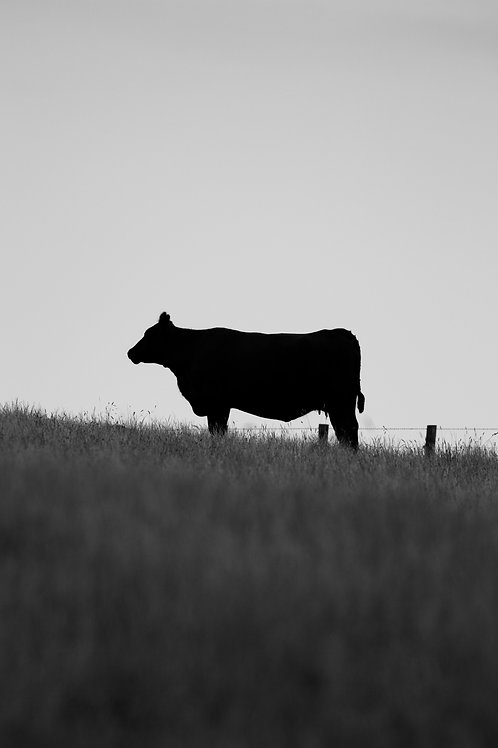Animal Print Cow Black and White Fine Art Photography