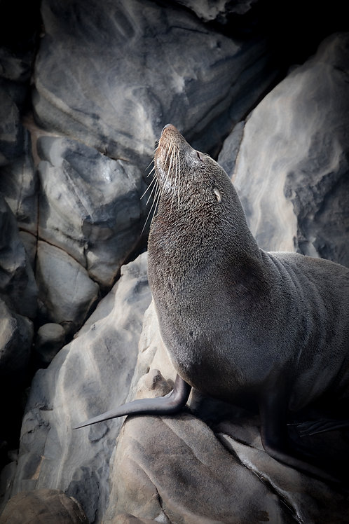 Long-nosed Fur Seal, Seal, Wildlife, Animal