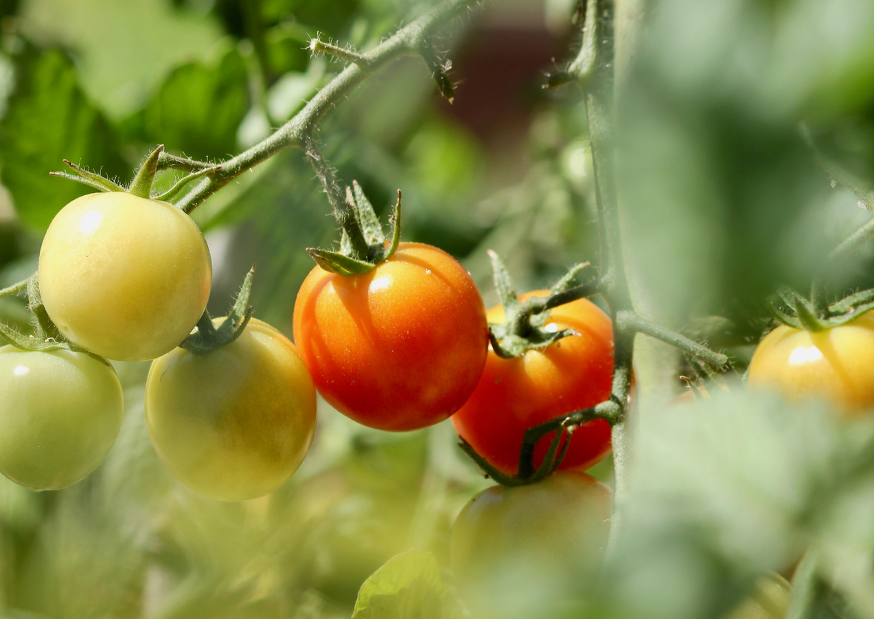 Baby tomatoes at the organic vegetable garden, Six Senses Douro Valley, Portugal