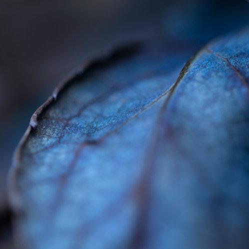 Blue Leaf 02 Fine Art Limited Edition Print Photography Blue