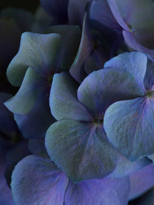 Blue Hortensia Fine Art Limited Edition Print Photography Hydrangea