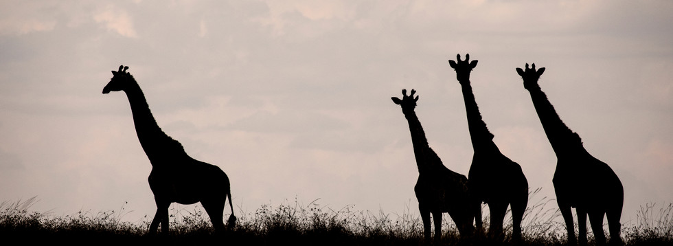 Honorable Mention in Silhouette category - Tower of Giraffes