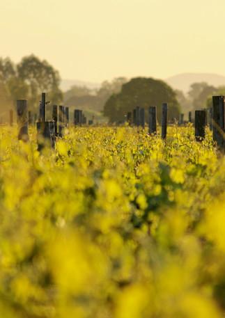 Vineyards, Milawa, Victoria, Australia