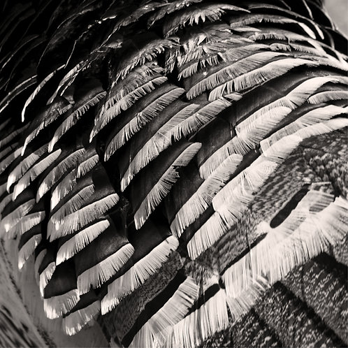 Feathers Artwork Black and White Animal Photography Bird Print