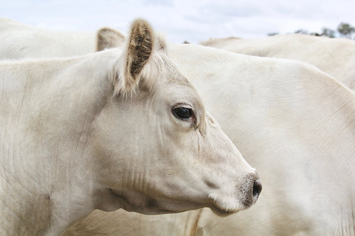 Milky White Cow