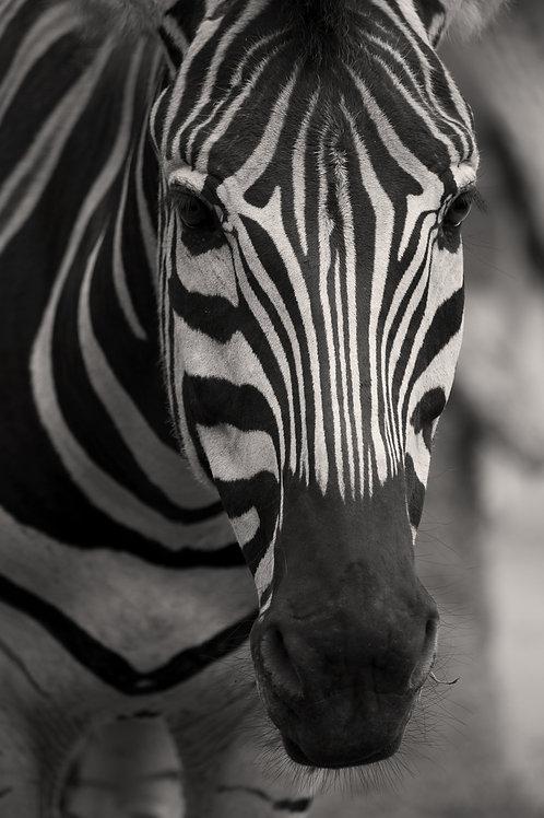 Zebra Artwork Black and White Animal Photography Wildlife Print