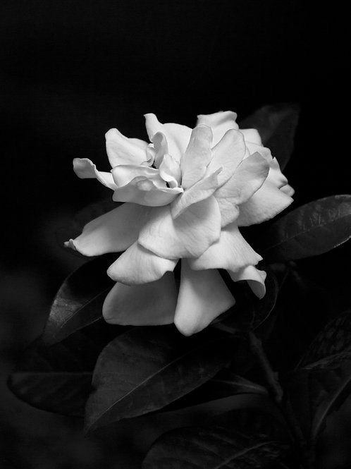 Gardenia Passion Fine Art Limited Edition Print Photography Flower Black and White