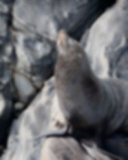 Long-nosed Fur Seal_web-7733.jpg