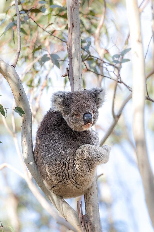 Kangaroo Island Koala, Koala, Australian Wildlife, Wildlife, Wildlife Photography