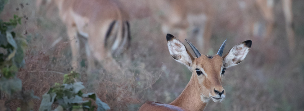 Highly Commended - Single Shot category - Thomson's Gazelle