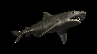 tiger_shark.png