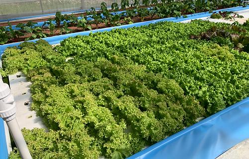 Summer Crisp Lettuce.png