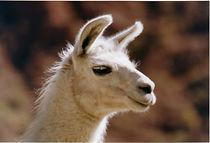 llama head.jpg