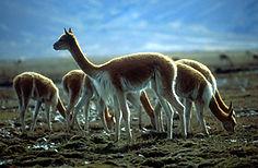 Llamas altiplano bolivia