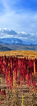quinoa tom kruse.jpg