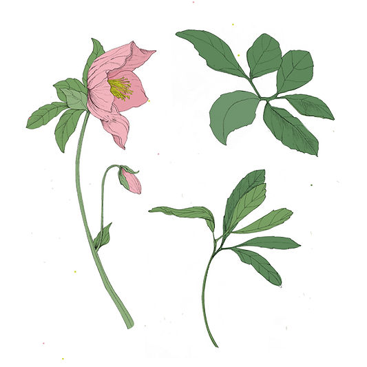 Hellebore, vegetal illustration, dessin hellébore, dessin plante julie servais, illustratrice bruxelles