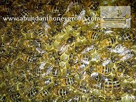 ABUNDANT HONEY GROUP reinas fecundas y viregenes abejas mansas buena genetica  apicultura en Colombia Bogotá