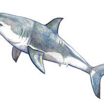Shark frame option