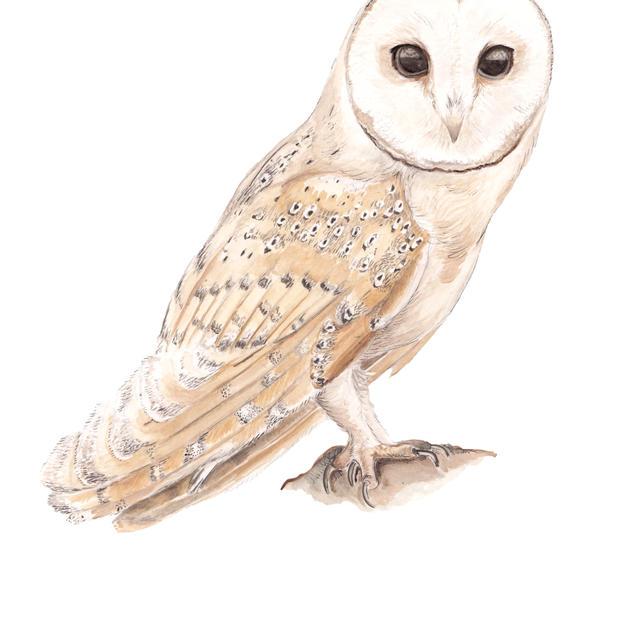 Barn Owl frame option