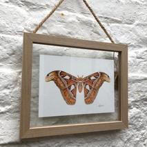 Atlas Moth 1.1.jpg
