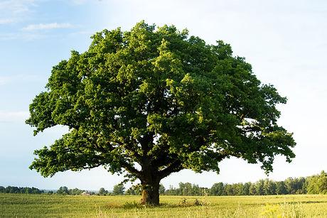 Lonely green oak tree in the field.jpg