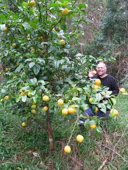 Bush Lemon Tree