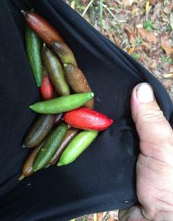 Finger Lime Harvest.jpg
