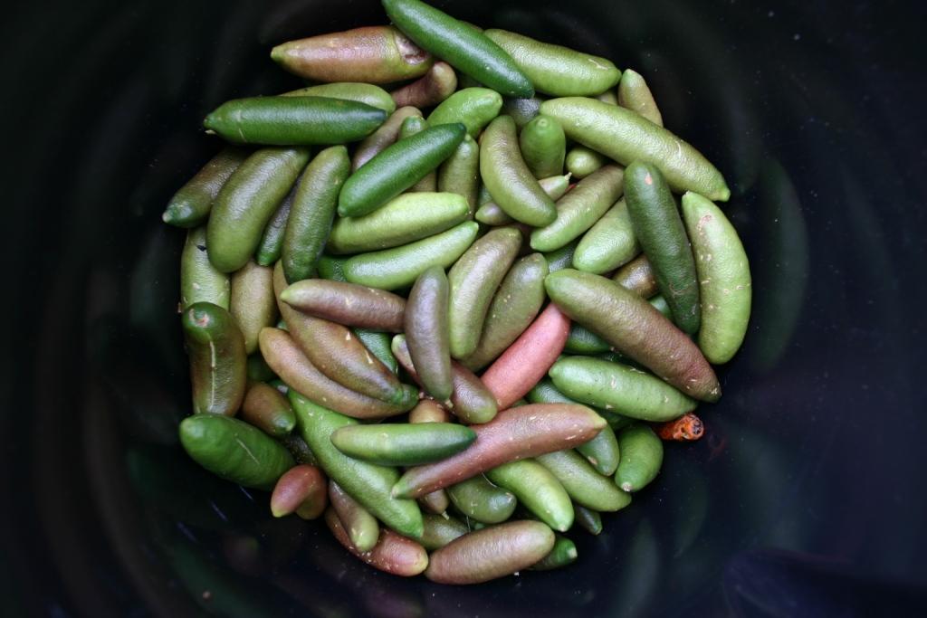 Harvesting Finger Limes