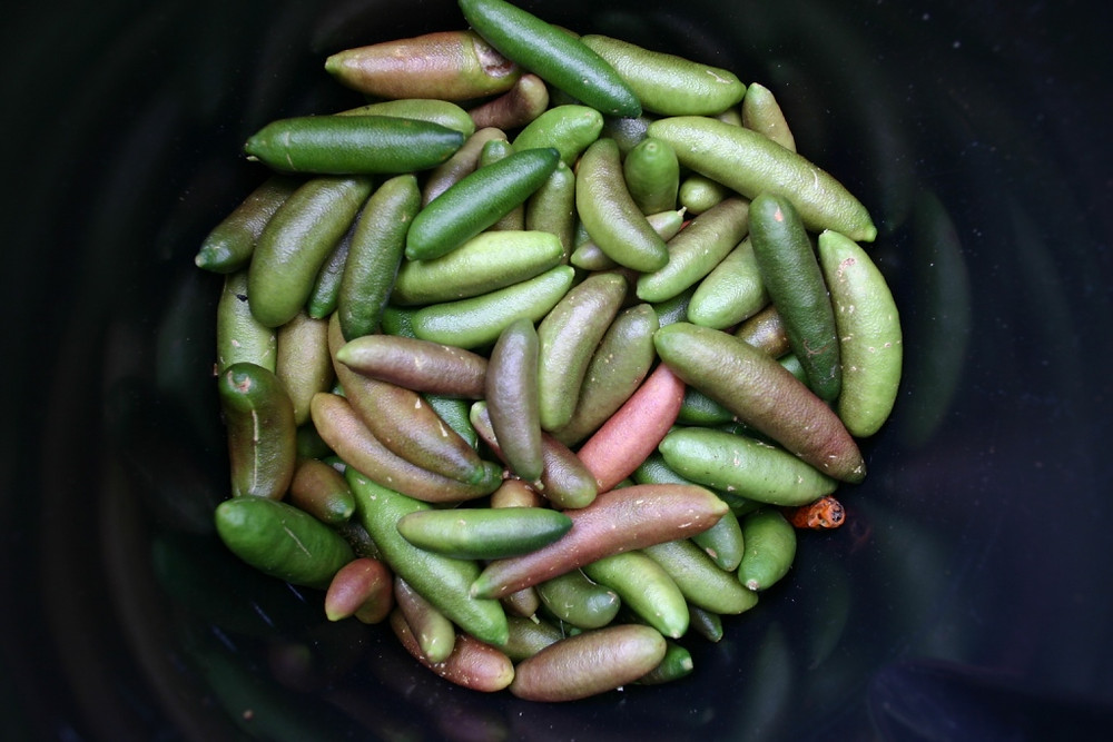 COLLECTING FIRST YEAR CROP OF FINGERLIMES.JPG