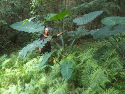 Tahitian Spinach at the Spring