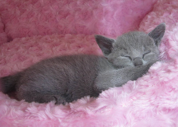 Silver Tip ロシアンブルー  子猫 CFA