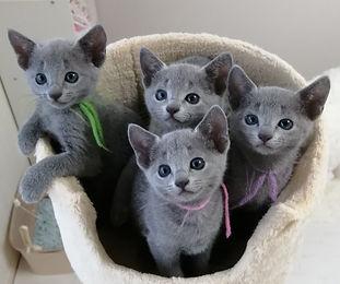 ロシアンブルー 子猫 集合