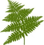 Fern picture.png