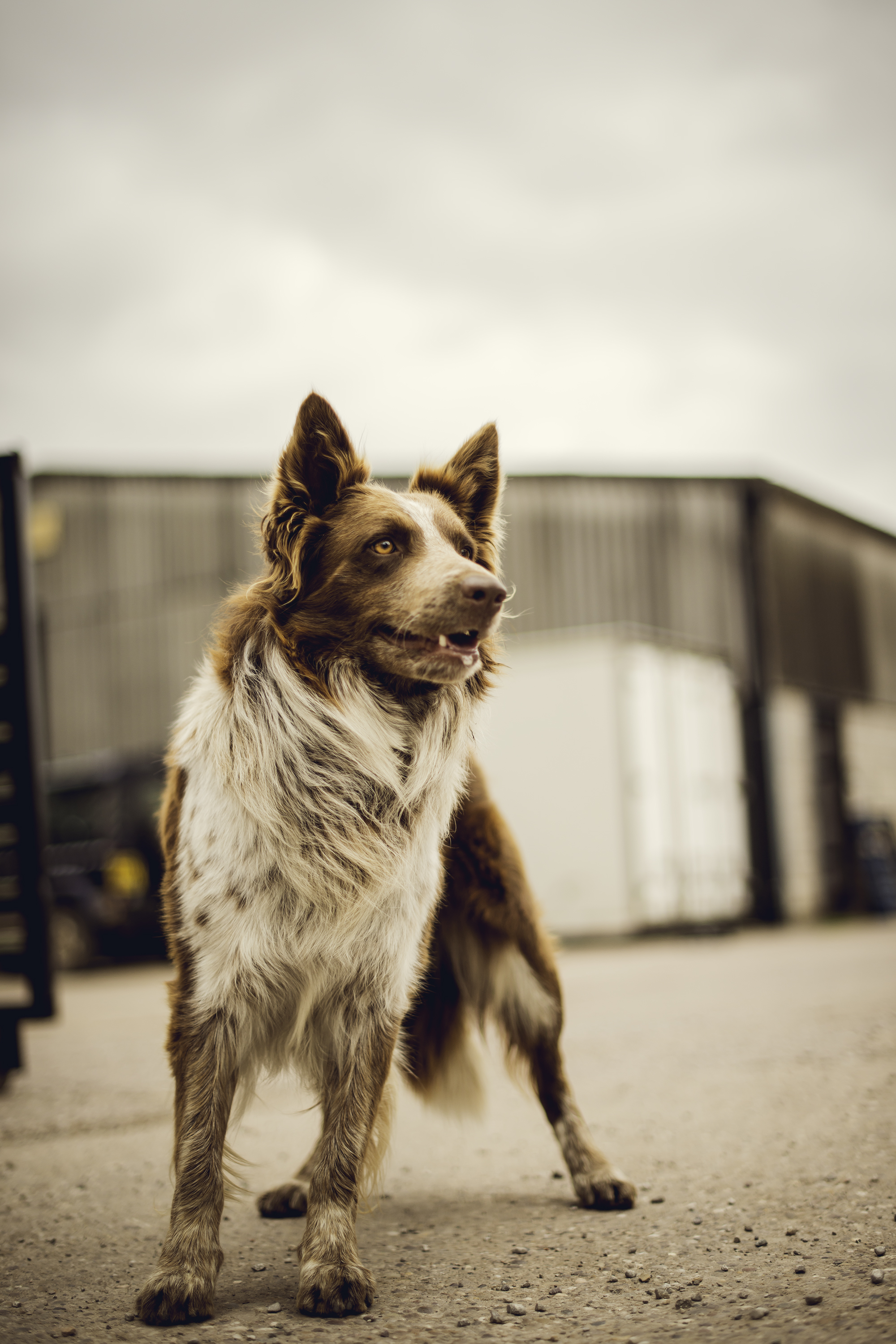 Lennie the farm dog