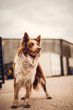 Lennie the farm dog