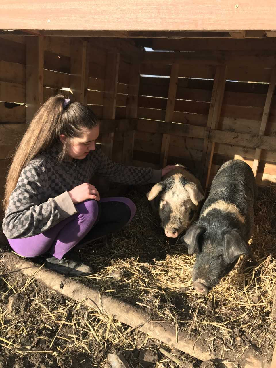 Pig handling