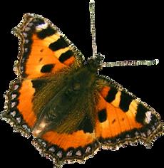 Oranje Vlinder 2