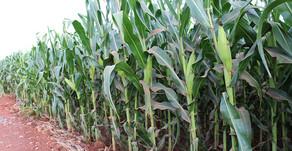 Condições são favoráveis ao desenvolvimento da safra de milho