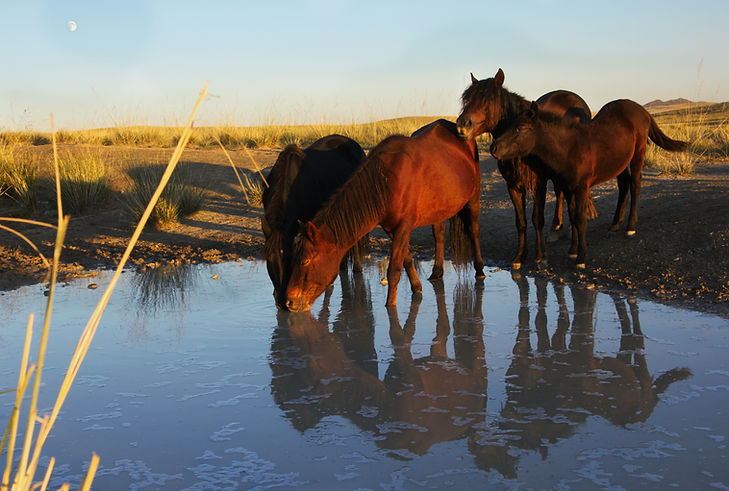 horses drinking from a waterhole in the steppes of mongolia