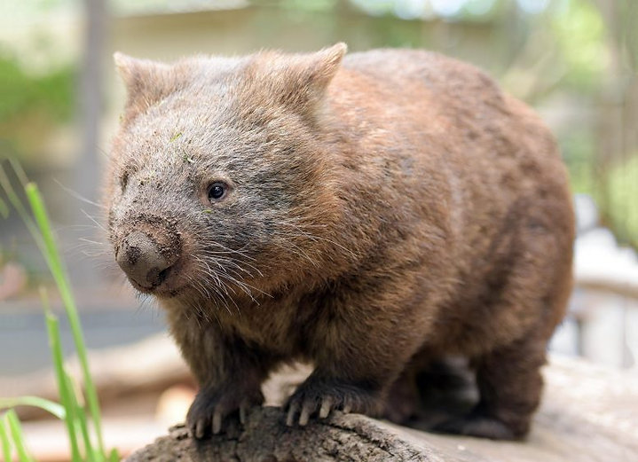 Extrafamily notre philosophie wombat mascotte